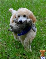 poodle puppy posted by tlogan1596