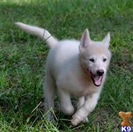 wolf dog puppy posted by tlogan1596