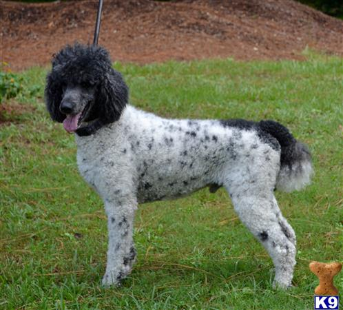 Poodle Stud Dog Winston 6 Years Old