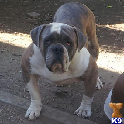 Stud Dogs - Old English Bulldog