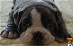 old english bulldog puppy posted by tntbulldogges