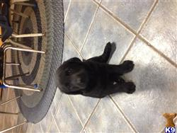 labrador retriever puppy posted by tonyak