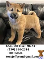 shiba inu puppy posted by tonyjeffeson