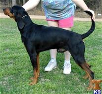 black and tan coonhound puppy posted by topdog