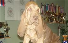 bloodhound puppy posted by topdog