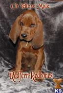 redbone coonhound puppy posted by topdog