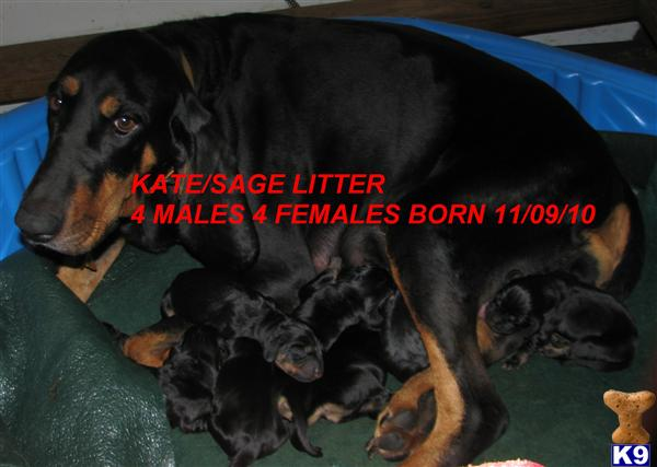 pkc UP COMING LITTER www.winkleysblackandtans.com - Black and Tan Coonhound Puppies for Sale