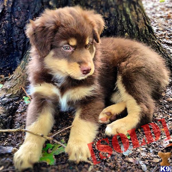 Red Tricolor Australian Shepherd Puppies