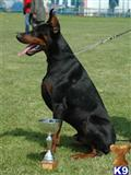 doberman pinscher puppy posted by travis_78602