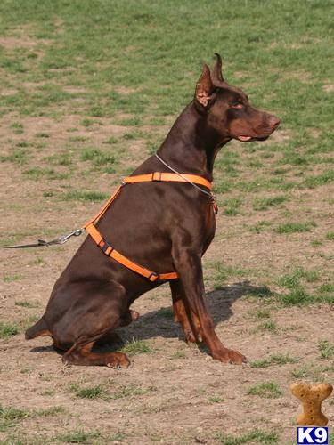 Doberman Pinscher Puppy For Sale B Litter Champion Bred Pure