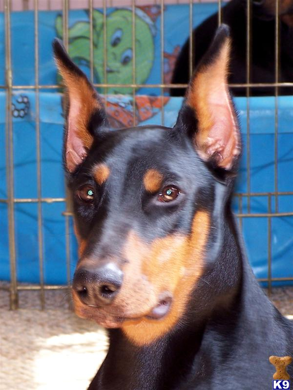 doberman puppies for sale. Doberman Pinscher Puppies in