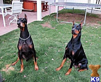 doberman pinscher puppy posted by trinitydobes