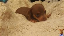 dachshund puppy posted by ts1113