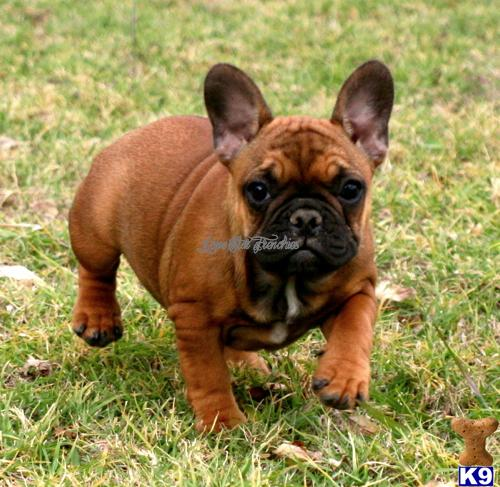 French Bulldog Puppy for Sale: AKC Red Fawn with Black ...