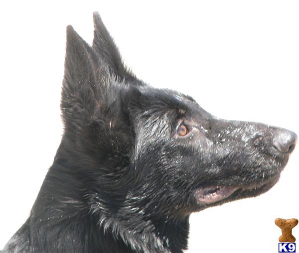 golden retriever mixed with german shepherd puppies. golden retriever puppies for