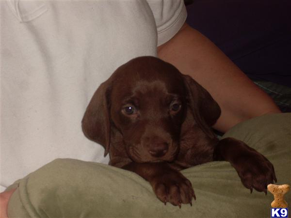 Weislas- a Weimaraner/Vizsla Hybrid cross - Weimaraner Puppies for ...