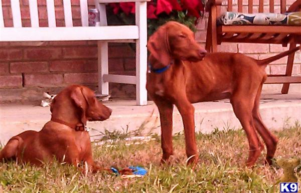 Vizsla Puppy for Sale:...