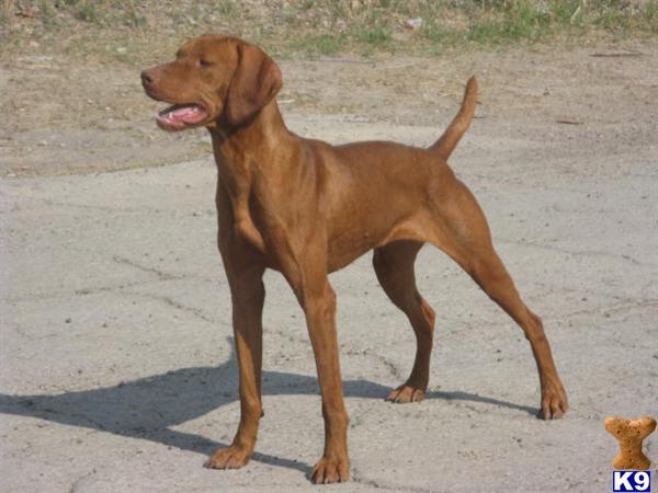 Vizsla Puppy for Sale:...