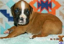 boxer puppy posted by tylergregs0