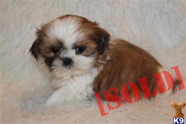 Red and White Shih Tzu http://www.k9stud.com/PuppiesforSale/shih-tzu-445701.aspx
