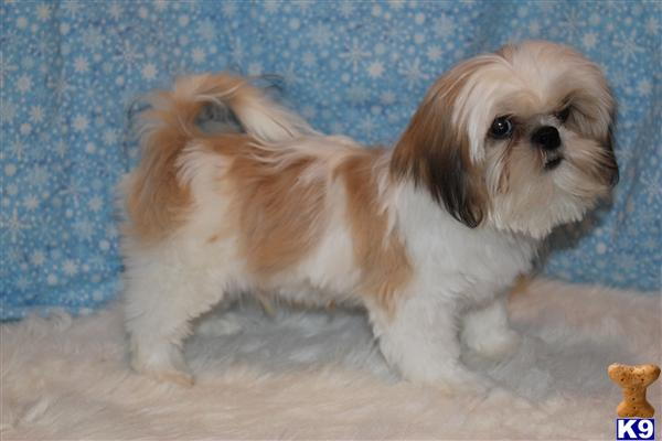 Shih Tzu Puppy for Sale: Small AKC Gold and White Shih Tzu ... Gold And White Shih Tzu Puppies