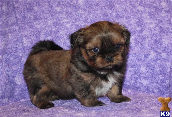 Gorgeous AKC Shih Tzu Puppy