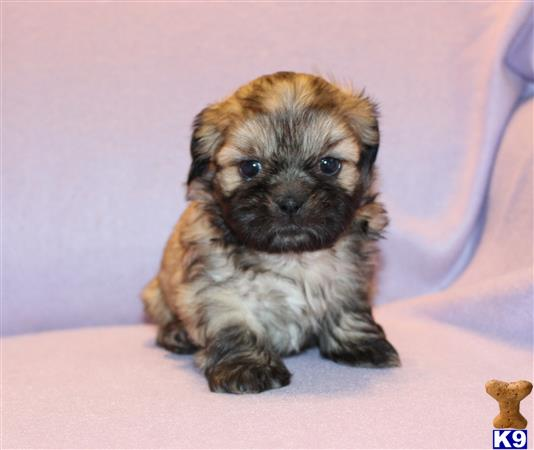 shih tzu puppy posted by tzugirl