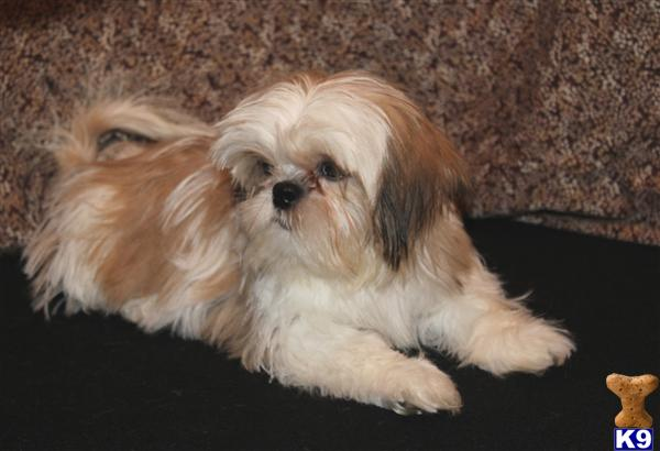 White And Gold: White And Gold Shih Tzu Puppies Gold And White Shih Tzu Puppies