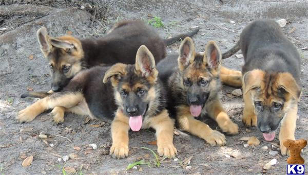 HUGE AKC GERMAN SHEPHERD PUPPIES