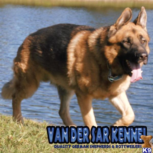 Stud Dogs - German Shepherd