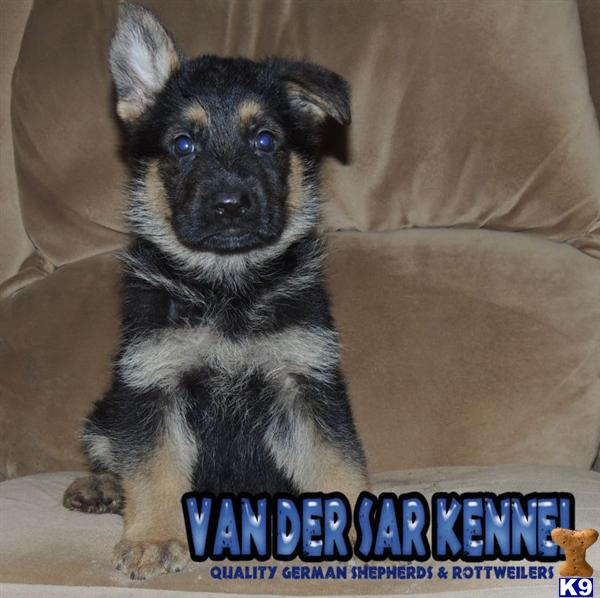 German Shepherd Puppies in FL