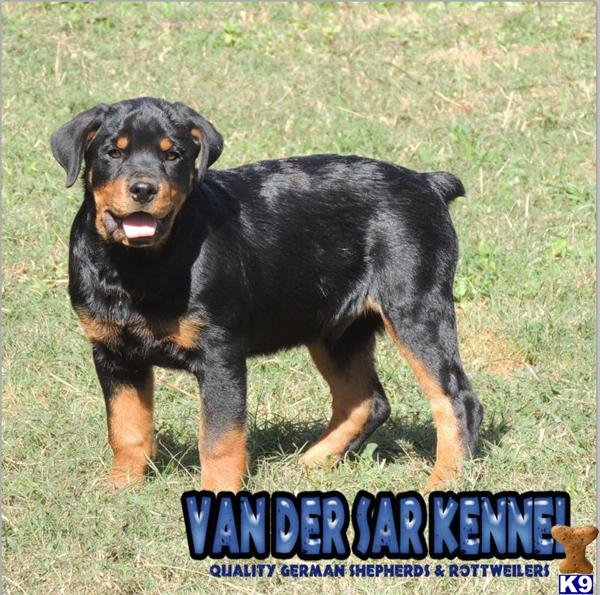 Worlds Biggest Rottweiler | Dog Breeds Picture
