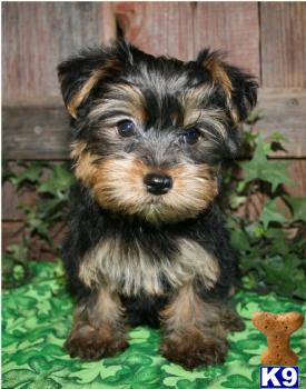 Yorkie  Puppies on Yorkie Yorkiepoo Morkie Puppies For Sale Bayside Queens Ny 718 224