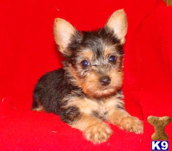 SILKY TERRIER  SILKYPOO PUPPIES FOR SALE BAYSIDE QUEENS NY 718-224-3643