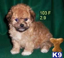 SHICHON  TEDDYBEAR PUPPIES FOR SALE BAYSIDE QUEENS NY 718-224-3643