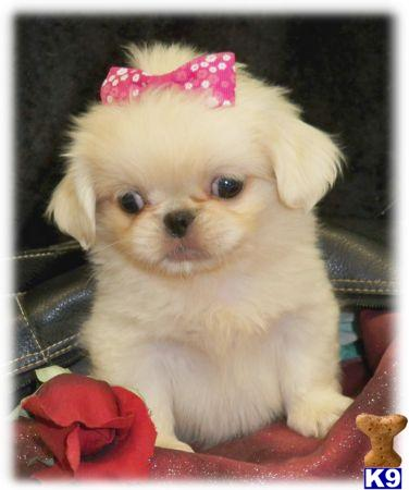 Pekingese Puppies in NY