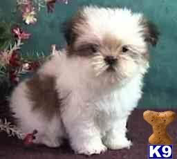 Lhasa Apso Puppies on Bayside  Ny Usa Lhasa Apso Puppies