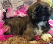 lhasa apso puppy posted by vanitypupsfl