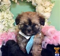 maltipoo puppy posted by vanitypupsfl