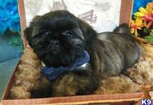 shih tzu puppy posted by vanitypupsfl