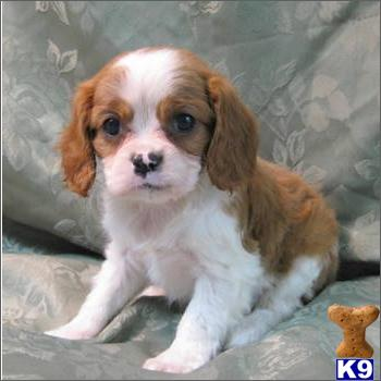 Cavapoo Puppies on Cavalier King Charles And Cavapoo Puppies For Sale In Fleming Island