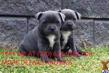 staffordshire bull terrier puppy posted by veronash3