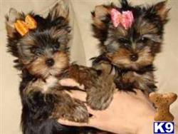 yorkshire terrier puppy posted by vicki2221