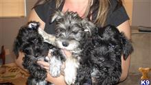 miniature schnauzer puppy posted by vickyb