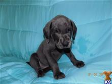 great dane puppy posted by vikingvalleymom