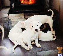dogo argentino puppy posted by vinnycass487