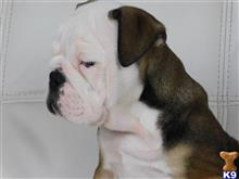 english bulldog puppy posted by virtualdogshop