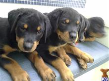 rottweiler puppy posted by vladrosenthal