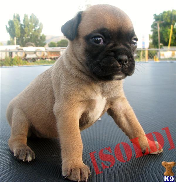 Miniature Boxers 25 Boston Terrier, 25 Pug and 50 Boxer