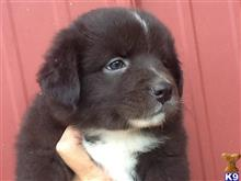 australian shepherd puppy posted by volleygirl